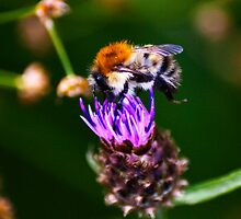 Feeding Time - Bee on Thistle by evilcat