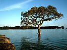 The lone Mangrove tree. by Roy  Massicks