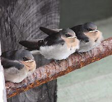 Young Welcome Swallows by dilouise