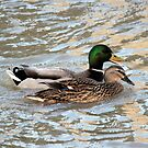 Mallard pair by larry flewers