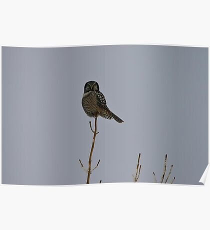 Northern Hawk Owl Poster