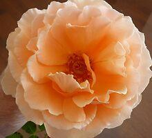 Peach rose by jillianesampson