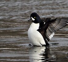 Rare Bird / Barrows Goldeneye by Gary Fairhead