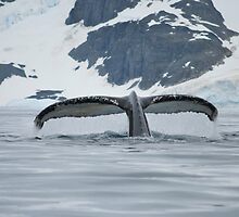 Humpback whale tail fluking - Antactica by mcreighton