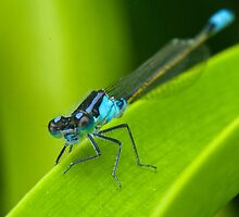 Damselfly by Jodi Turner