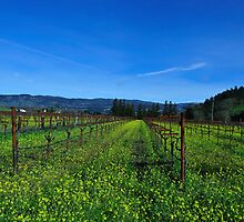 Napa Winery, Mustard & Vines, Oakville, California by Richard  Leon