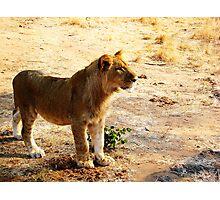 Zimbabwe Young Lion... Photographic Print