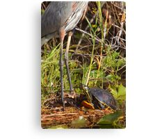 """I wish I was Taller"" - Turtle Vs. Great Blue Heron Canvas Print"
