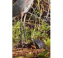 """""""I wish I was Taller"""" - Turtle Vs. Great Blue Heron Photographic Print"""