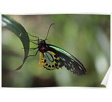 Cairns Birdwing Poster