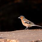 Chaffinch by Ray Clarke