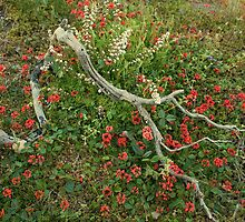 Red Coral Pea (Kennedia rubicunda ) by Elaine Teague