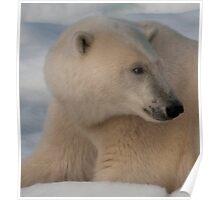 Polar Bear Profile Poster
