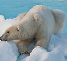 Polar Bear Sleeping by Karen Nelson