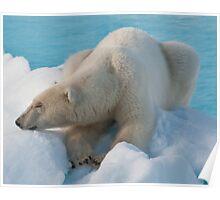 Polar Bear Sleeping Poster