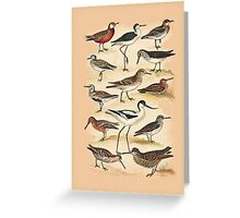 Sandpipers, Snipes and others Greeting Card