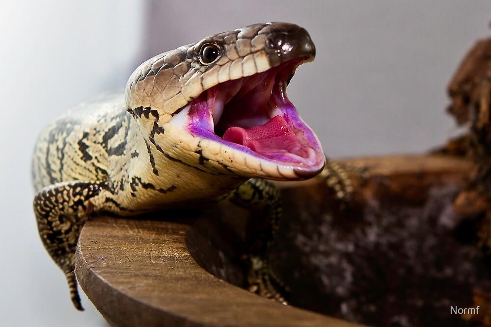 Pink-tongued skink - Hemisphaeriodon gerrardii by Normf