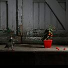 The story of the pigeon and the tomato plant by Elma Claassen