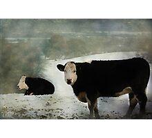 Bovine Beauty Photographic Print