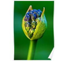 agapanthus lily of the nile Poster