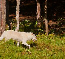 Arctic Wolf - Parc Omega by Josef Pittner