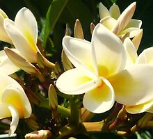 Frangipani Delight by Angela Gannicott