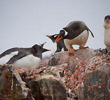 Gentoo penguin disagreement - Antarctica by mcreighton