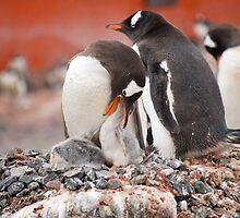 Gentoo Penguins nesting in Antarctica by mcreighton