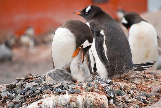 Gentoo Penguins nesting in Antarctica by mcreighton