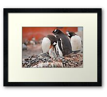 Gentoo Penguins nesting in Antarctica Framed Print