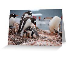 Gentoo penguin chicks sheltering - Antarctica Greeting Card
