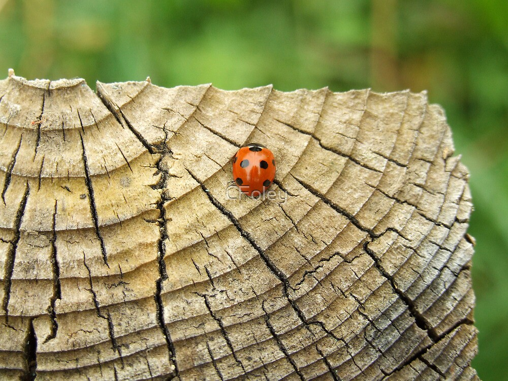 Ladybird by CFoley