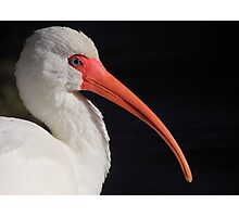 White Ibis Portrait Photographic Print