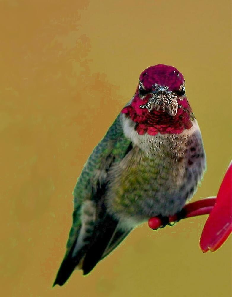 ANNAS HUMMINGBIRD..WINTER BIRD SERIES by RoseMarie747