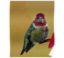 ANNAS HUMMINGBIRD..WINTER BIRD SERIES Poster