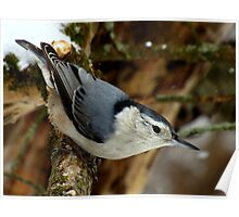 White-breasted Nuthatch (Sitta carolinesis) in Classic Pose Poster