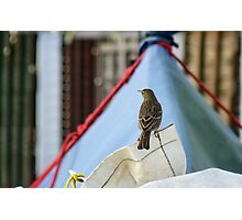 Rock Pippit Bird Sitting On Yacht At Lyme Photographic Print