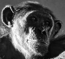 Chimp Portrait by HJIrvine