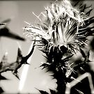 Thistle  by perfectdaypro
