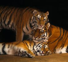 Amba, Tula, and Nuri - A Tiger Family by Scott Engel