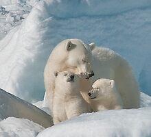 Sleepy Polar Bear Mom With Cubs by Karen Nelson