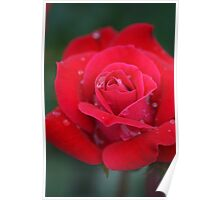 Rainy Red Rose Poster