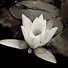 Lily by Billy Hodgkins