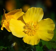 Wood Poppy - May 2015 by cclaude