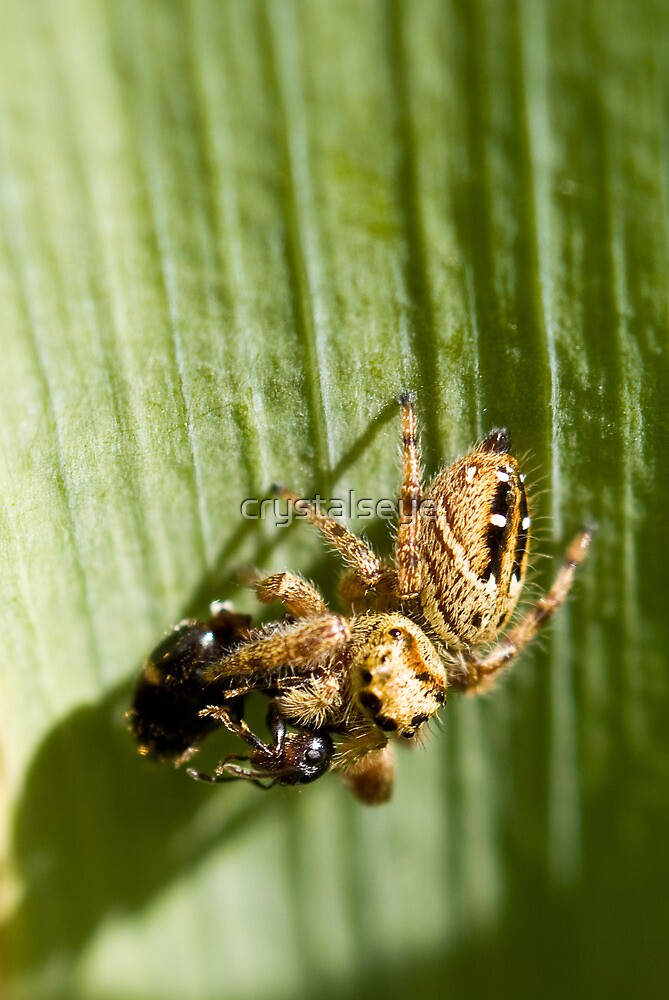 Jumping Spider and Wasp Lunch by crystalseye