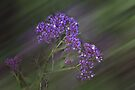 Statice (Limonium) #3 by Elaine Teague