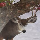 the allure of apples / young mule deer by R Christopher  Vest