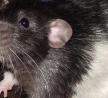 black hooded Dumbo rat Sticker
