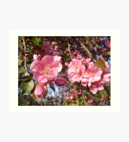 Apple Blossom - Shallow Focus Art Print