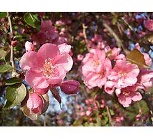 Apple Blossom - Shallow Focus Photographic Print